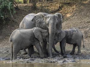 Africa, Zambia. Elephants on Zambezi River Bank by Jaynes Gallery