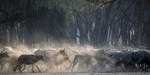 Africa, Zambia. Herd of Cape Buffaloes Running by Jaynes Gallery