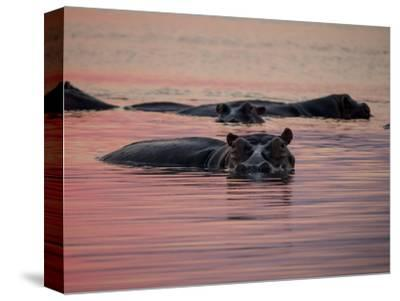 Africa, Zambia. Hippos in River at Sunset