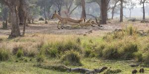 Africa, Zambia. Impala Leaping by Jaynes Gallery