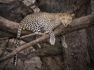 Africa, Zambia. Leopard in Tree by Jaynes Gallery