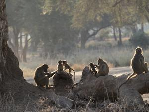 Africa, Zambia. Troop of Baboons Resting by Jaynes Gallery
