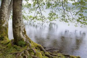 Alder Trees over Lake Crescent, Olympic National Park, Washington, USA by Jaynes Gallery