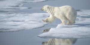 Arctic Ocean, Norway, Svalbard. Polar Bear Jumping by Jaynes Gallery