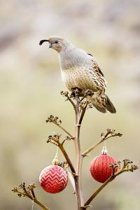 Arizona, Buckeye. Gambel's Quail Atop a Decorated Agave Stalk at Christmas Time by Jaynes Gallery