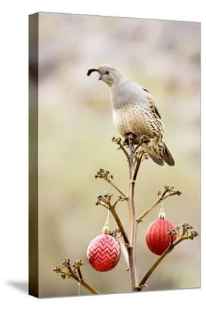 Arizona, Buckeye. Gambel's Quail Atop a Decorated Agave Stalk at Christmas Time