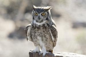 Arizona, Buckeye. Great Horned Owl Perched on House by Jaynes Gallery