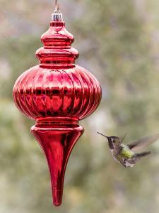 Arizona, Buckeye. Male Anna's Hummingbird Inspects Red Christmas Ornament by Jaynes Gallery