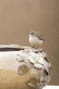 Arizona, Buckeye. Rock Wren Perched on Decorative Pottery by Jaynes Gallery