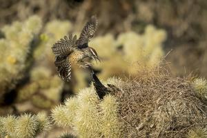 Arizona, Buckeye. Two Cactus Wrens Flying into their Nest by Jaynes Gallery