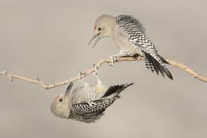 Arizona, Buckeye. Two Male Gila Woodpeckers Interact on Dead Branch by Jaynes Gallery