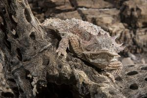 Arizona, Madera Canyon. Close Up of Regal Horned Lizard by Jaynes Gallery