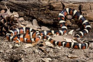Arizona, Madera Canyon. Sonoran Mountain King Snake by Jaynes Gallery