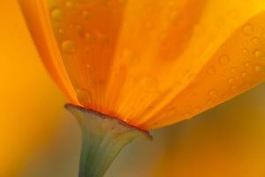 California. Close-Up of California Poppy by Jaynes Gallery