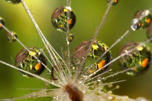 California. Dandelion and Water Droplets by Jaynes Gallery