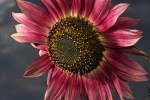California. Hybrid Sunflower by Jaynes Gallery