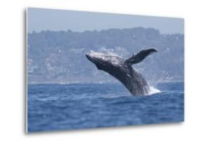 California, La Jolla. Humpback Whale Breaching by Jaynes Gallery
