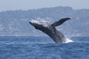 California, La Jolla. Humpback Whale Breaching by Jaynes Gallery