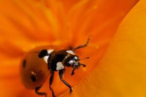 California. Ladybug on a Poppy by Jaynes Gallery