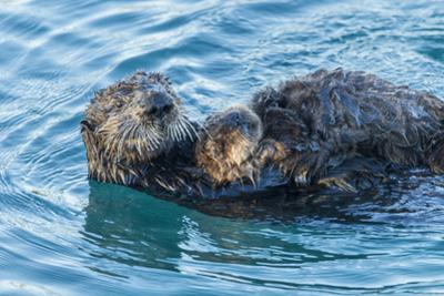 California, Morro Bay. Sea Otter Parent and Pup by Jaynes Gallery