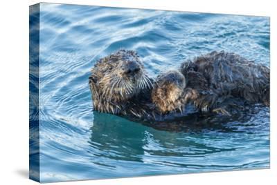 California, Morro Bay. Sea Otter Parent and Pup