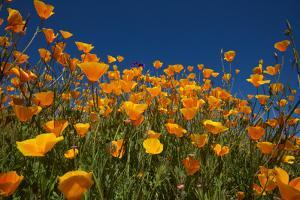 California. Poppies in Rattlesnake Canyon by Jaynes Gallery