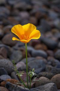 California. Poppy Wildflower and Rocks by Jaynes Gallery