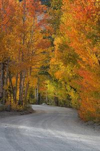 California, Sierra Mountains. Dirt Road Through Aspen Trees in Autumn by Jaynes Gallery
