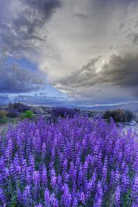 California, Sierra Nevada Mountains. Inyo Bush Lupine Blooming by Jaynes Gallery
