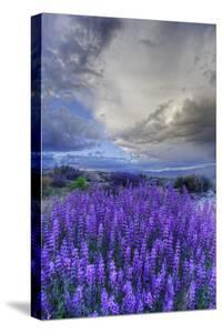 California, Sierra Nevada Mountains. Inyo Bush Lupine Blooming by Jaynes Gallery