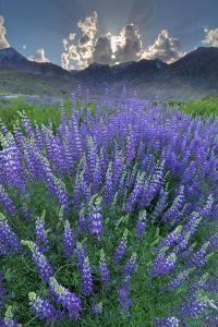 California, Sierra Nevada Mountains. Inyo Bush Lupine Blooms and Mountains by Jaynes Gallery