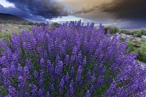 California, Sierra Nevada Mountains. Inyo Bush Lupines in Bloom by Jaynes Gallery