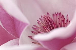 California. Tulip Tree Flower Close-Up by Jaynes Gallery