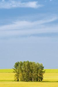 Canada, Alberta, Mossleigh. Canola crop and shelterbelt trees. by Jaynes Gallery
