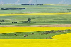 Canada, Alberta, Strathmore. Canola crop in bloom on farm. by Jaynes Gallery