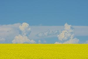 Canada, Alberta, Strathmore. Canola crop in bloom. by Jaynes Gallery