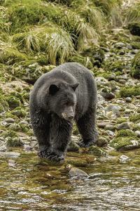 Canada, British Columbia, Inside Passage. Black Bear Fishing on Qua Creek by Jaynes Gallery