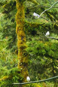 Canada, British Columbia, Inside Passage. Mew Gulls in Tree by Jaynes Gallery