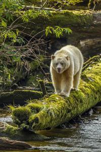 Canada, British Columbia, Inside Passage. White Spirit Bear Hunts for Fish on Riordan Creek by Jaynes Gallery