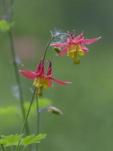 Canada, British Columbia. Sitka columbine flower. by Jaynes Gallery
