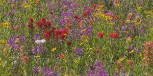 Canada, British Columbia. Wildflower meadow in Selkirk Mountains. by Jaynes Gallery