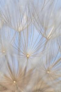 Canada, British Columbia. Yellow salsify flower seeds close-up. by Jaynes Gallery