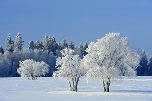 Canada, Manitoba, Birds Hill Provincial Park. Hoarfrost-covered trees in winter. by Jaynes Gallery
