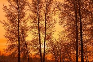 Canada, Manitoba, Birds Hill Provincial Park. Tree silhouettes at sunrise. by Jaynes Gallery