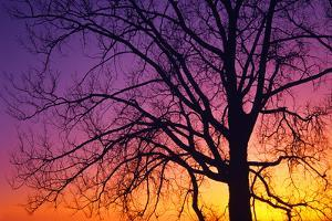 Canada, Manitoba. Cottonwood tree at sunset. by Jaynes Gallery