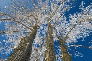 Canada, Manitoba, Dugald. Hoarfrost on cottonwood tree. by Jaynes Gallery