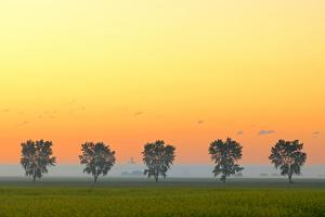Canada, Manitoba, Fannystelle. Shelterbelt trees in fog at sunrise. by Jaynes Gallery