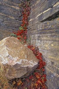 Canada, Manitoba, Whiteshell Provincial Park. Virginia creeper foliage in autumn and rock. by Jaynes Gallery