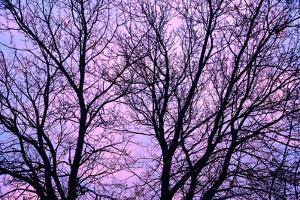 Canada, Manitoba, Winnipeg. Branches of sliver maple at sunrise. by Jaynes Gallery
