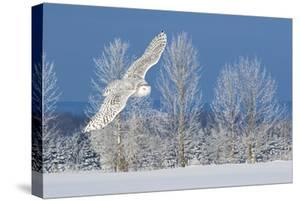 Canada, Ontario. Female snowy owl in flight. by Jaynes Gallery
